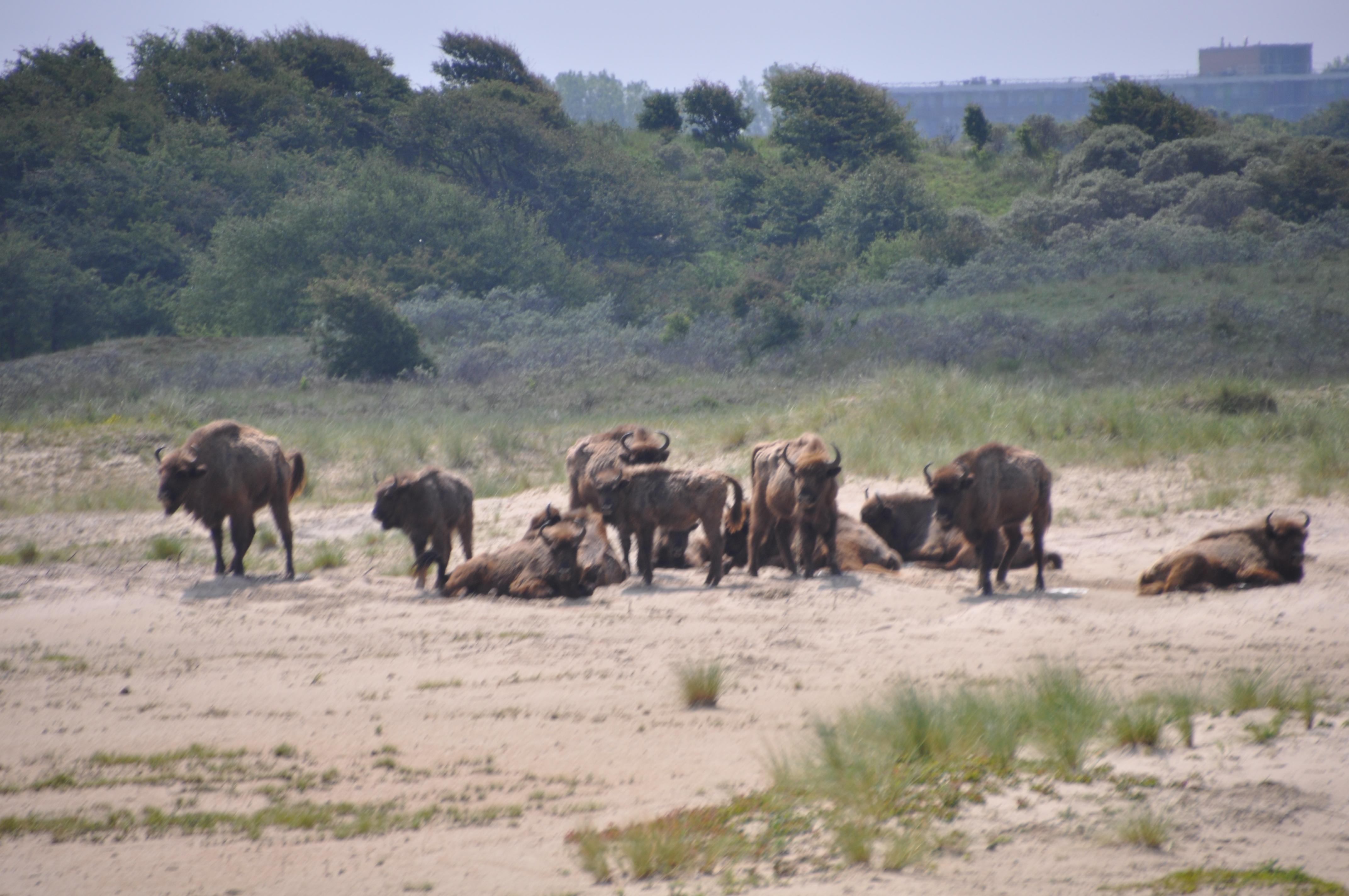 Wisenten op het Kraansvlak (Foto: PN)